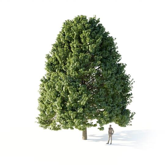 chocofur blender 3D model Trees_Broadleaf Tree Linden Large 01