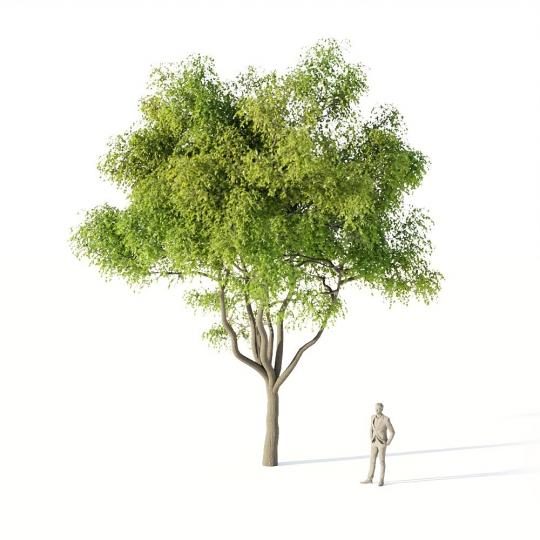 chocofur blender 3D model Trees_Broadleaf Tree Elm Medium 01