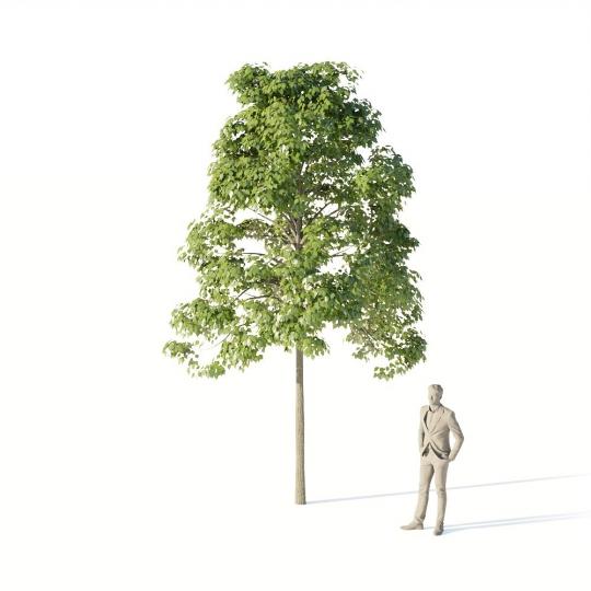 chocofur blender 3D model Trees_Broadleaf Tree Linden Small 01