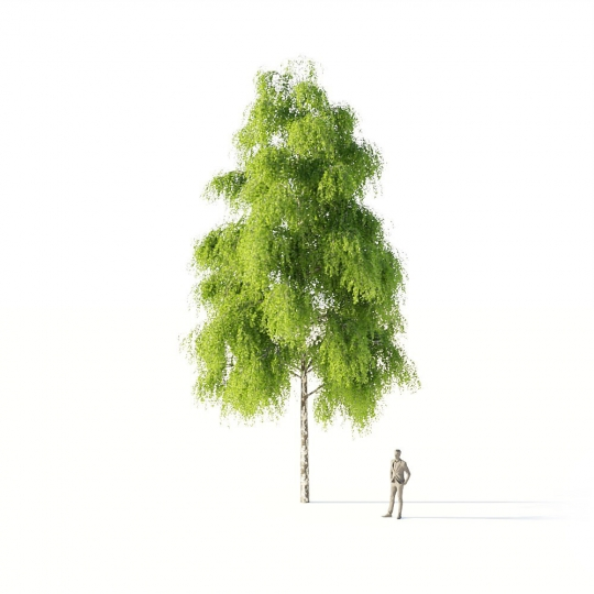 chocofur blender 3D model Trees_Broadleaf Tree Birch Large 01