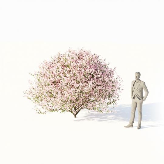 chocofur blender 3D model Trees Broadleaf Chocofur Tree Cherry Small 01